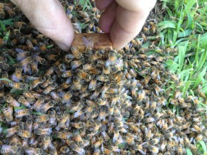 Honey bees clustering around the queen cage.