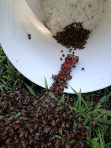 The honey bees begin to move toward the queen.