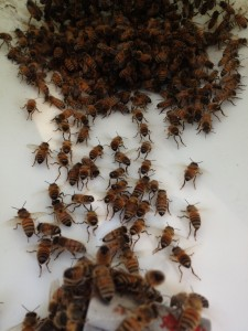 Honey bees spreading the Nasonov pheromone, directing bees toward the queen.