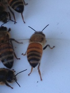 A honey bee dispersing the Nasonov pheromone.