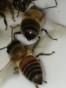 The Nasonov glands are between the last two sections of the abdomen and are exposed when the abdomen is raised and the stinger is pointed downward.